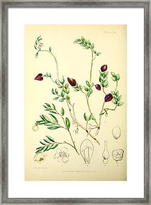Illustrations Of The Flowering Plants And Ferns Of The Falkland Islands Framed Print
