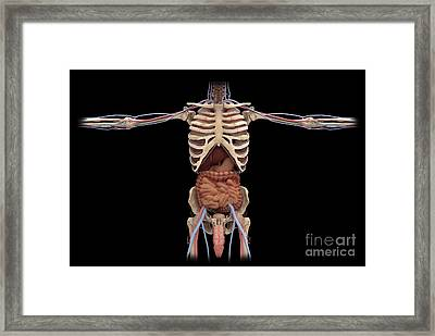 3d Rendering Of Digestive System Framed Print by Stocktrek Images