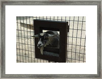 3d Tv Goat 1 Framed Print by Robyn Stacey