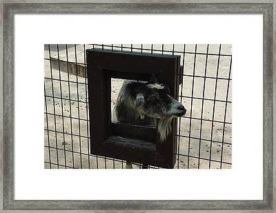 3d Tv Goat 2 Framed Print by Robyn Stacey