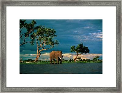 African Elephant Loxodonta Africana Framed Print by Beverly Joubert