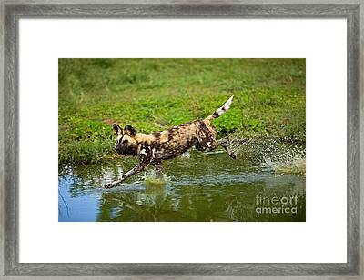 African Wild Dog Lycaon Pictus Framed Print