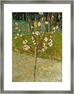 Almond Tree In Blossom Framed Print