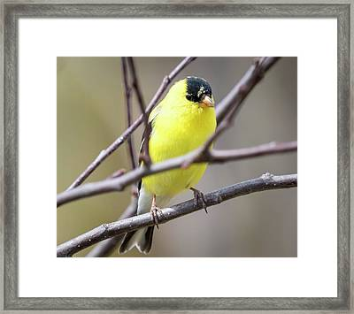 Framed Print featuring the photograph American Goldfinch  by Ricky L Jones