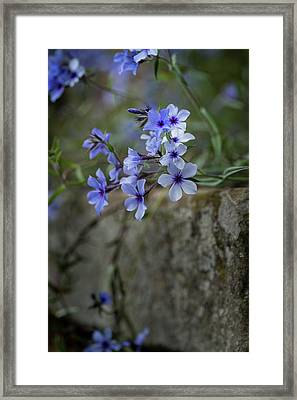 Beautiful Image Of Wild Blue Phlox Flower In Spring Overflowing  Framed Print