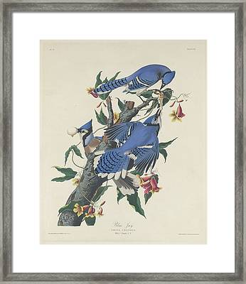 Blue Jay Framed Print by Rob Dreyer