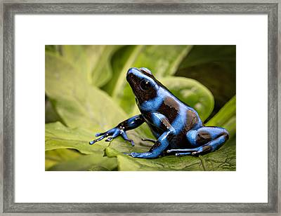 Blue Poison Dart Frog Framed Print by Dirk Ercken