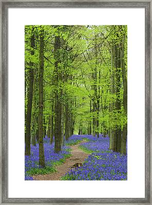 Bluebell Wood Framed Print by Liz Pinchen