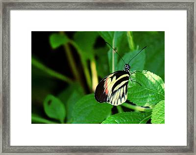 Butterfly No. 4 Framed Print by Sandy Taylor