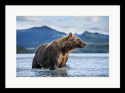 Three Bears Framed Prints