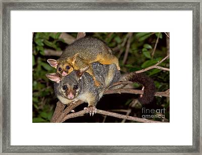 Common Brush-tailed Possum Framed Print