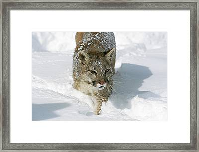 Cougar Puma Concolor Framed Print by Gerard Lacz