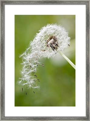Dandelion Framed Print by Falko Follert