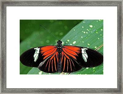 Doris Longwing Butterfly Framed Print by JT Lewis