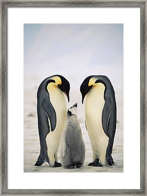 Emperor Penguin Family Framed Print by Konrad Wothe