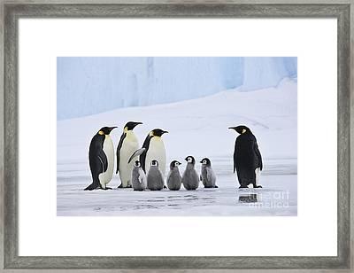 Emperor Penguins And Chicks Framed Print