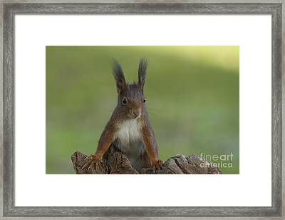European Red Squirrel Framed Print by Helmut Pieper