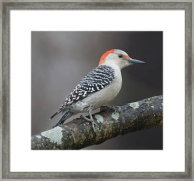 Female Red-bellied Woodpecker Framed Print