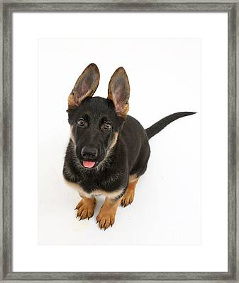 German Shepherd Puppy Framed Print by Mark Taylor