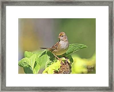 Golden -crowned Sparrow Framed Print