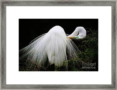 Great White Egret Preening Framed Print