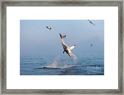 Great White Shark Carcharodon Carcharias Framed Print by Gerard Lacz