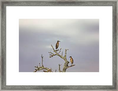 Green Heron Framed Print by Peter Lakomy