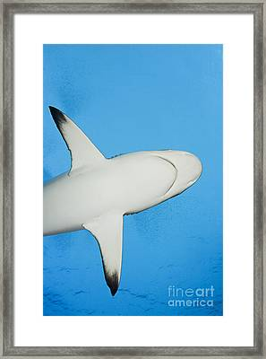 Grey Reef Shark Framed Print