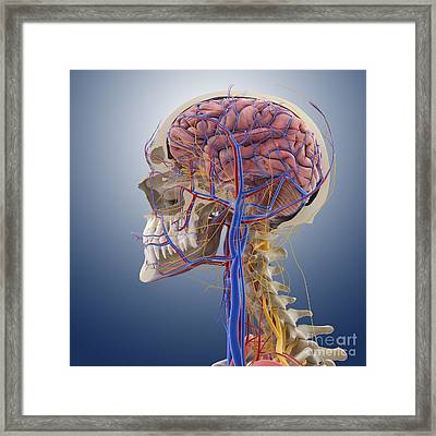 Head And Neck Anatomy, Artwork Framed Print by Springer Medizin