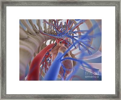 Heart-lung System, Artwork Framed Print by Springer Medizin