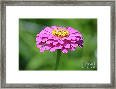 Hot Pink Zinnia  Framed Print by Ruth Housley