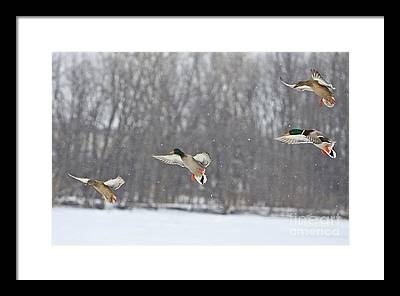 Ducks Unlimited Framed Art Prints Fine Art America