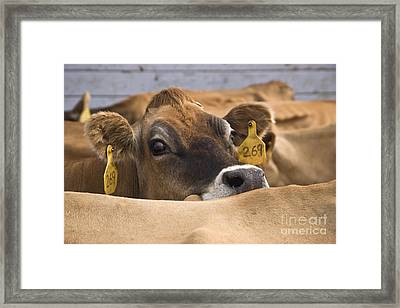 Jersey Cow Framed Print by Inga Spence