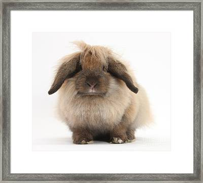 Lionhead-lop Rabbit Framed Print by Mark Taylor