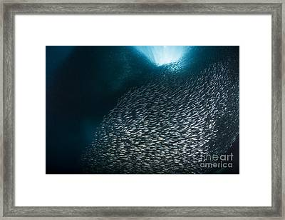 Massive School Of Millions Of Sardines Framed Print