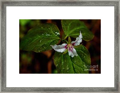 Framed Print featuring the photograph Painted Trillium  by Thomas R Fletcher