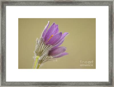 Pasque Flowers Framed Print