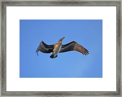 Framed Print featuring the photograph 4- Pelican by Joseph Keane