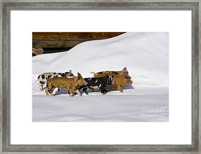 Piglets In The Snow Framed Print by Jean-Louis Klein & Marie-Luce Hubert