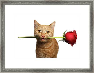 Portrait Of Ginger Cat Brought Rose As A Gift Framed Print