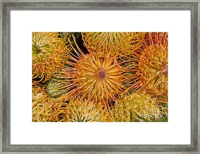Protea Blossom Framed Print