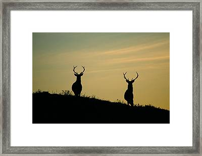 Red Deer Stags  Framed Print