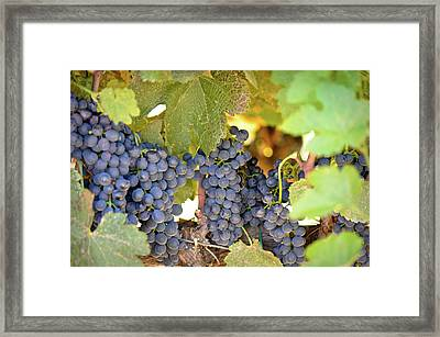 Red Grapes Framed Print by Brandon Bourdages