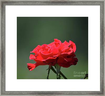 Red Rose Framed Print by Ruth Housley
