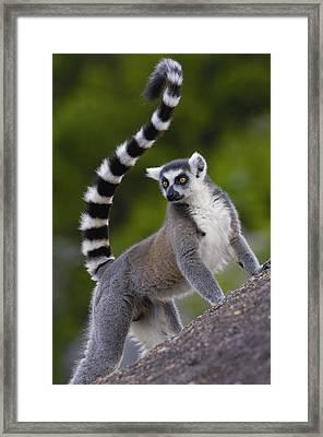 Ring-tailed Lemur Lemur Catta Portrait Framed Print by Pete Oxford