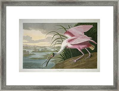 Roseate Spoonbill Framed Print by Rob Dreyer