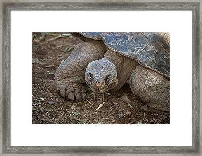 Santa Cruz Tortoise Framed Print by Harry Strharsky