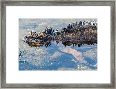 Santiago Marine Iguana Framed Print by Harry Strharsky