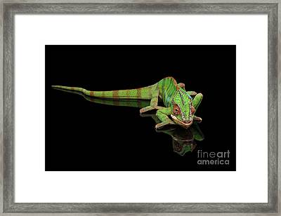 Sneaking Panther Chameleon, Reptile With Colorful Body On Black Mirror, Isolated Background Framed Print