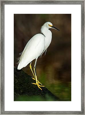 Snowy Egret Egretta Thula, Tortuguero Framed Print